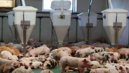 Formación e Información Inicial para sector porcino